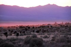 Sunset on the Range - The sun sets on the herd while on the range