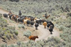 Cattle on the move