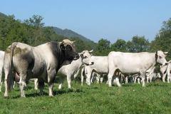 bull-12
