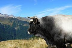 bull-6