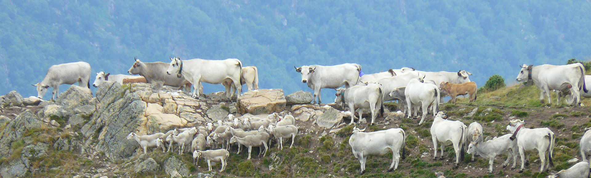 Image of Gascon cows on top of mountain